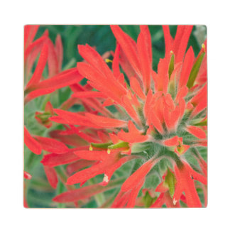 USA, Wyoming, Close-up of Desert Paintbrush Wood Coaster