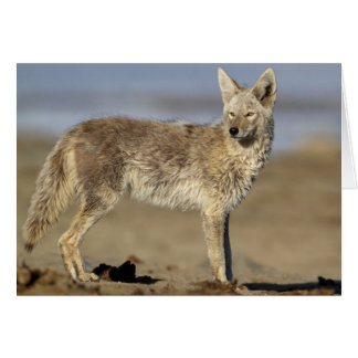 USA, Wyoming, Coyote standing on beach Card