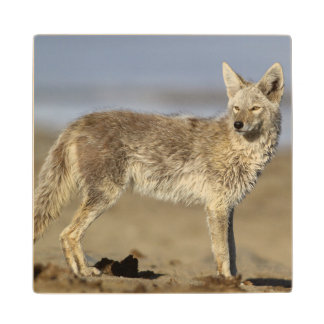 USA, Wyoming, Coyote standing on beach Wood Coaster