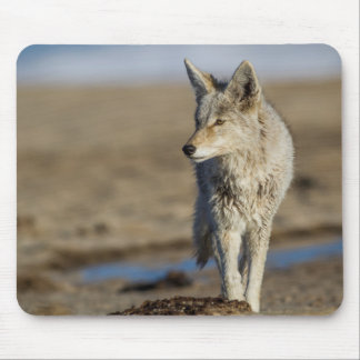 USA, Wyoming, Coyote walking on beach Mouse Mat