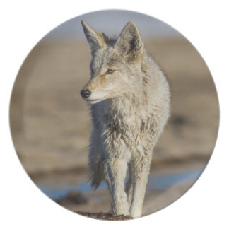 USA, Wyoming, Coyote walking on beach Party Plate