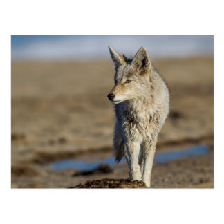 USA, Wyoming, Coyote walking on beach Postcard