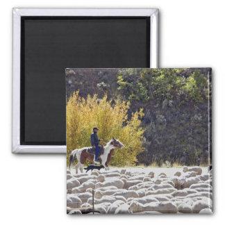 USA, Wyoming, Evanston. Cowboy herding sheep. Square Magnet