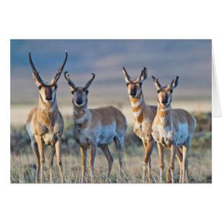 USA, Wyoming, Four Pronghorn antelope bucks Card