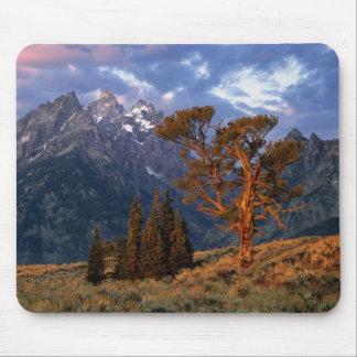 USA, Wyoming, Grand Teton NP. A lone cedar Mouse Mat