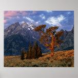 USA, Wyoming, Grand Teton NP. A lone cedar Poster