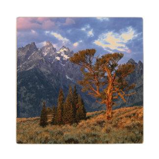 USA, Wyoming, Grand Teton NP. A lone cedar Wood Coaster