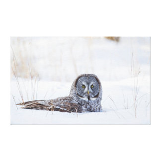 USA, Wyoming, Great Gray Owl sitting in snow Canvas Print