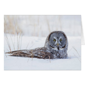 USA, Wyoming, Great Gray Owl sitting in snow Card