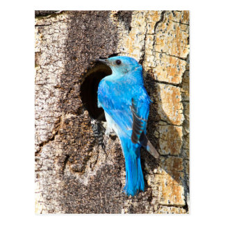 USA, Wyoming, Male Mountain Bluebird Postcard