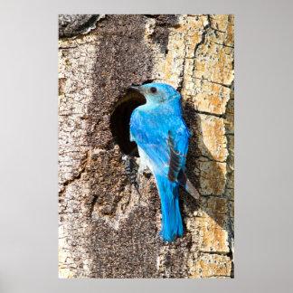 USA, Wyoming, Male Mountain Bluebird Poster