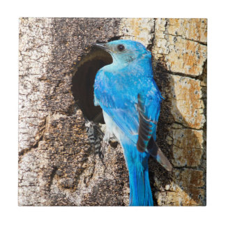 USA, Wyoming, Male Mountain Bluebird Small Square Tile