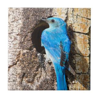 USA, Wyoming, Male Mountain Bluebird Tile