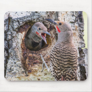 USA, Wyoming, Northern Flicker male feeding Mouse Mat