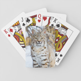 USA, Wyoming, Portrait of Bobcat sitting Playing Cards