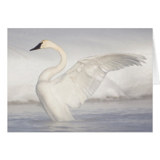 USA, Wyoming, Trumpeter Swan stretches wings Card
