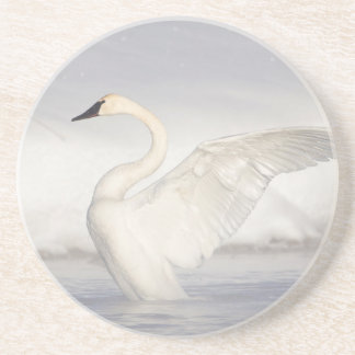 USA, Wyoming, Trumpeter Swan stretches wings Coaster