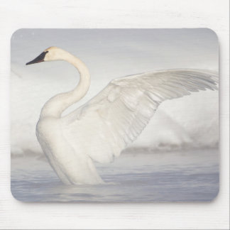 USA, Wyoming, Trumpeter Swan stretches wings Mouse Mat