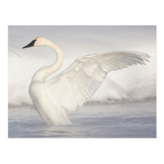 USA, Wyoming, Trumpeter Swan stretches wings Postcard