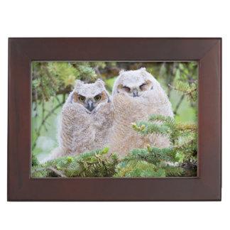 USA, Wyoming, two fledged Great Horned Owl Keepsake Box