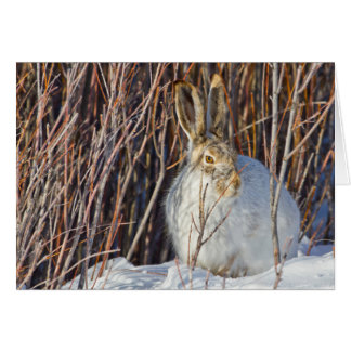 USA, Wyoming, White-tailed Jackrabbit sitting on Card