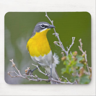USA, Wyoming, Yellow-breasted Chat Icteria 2 Mouse Mat