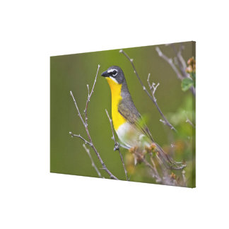 USA, Wyoming, Yellow-breasted Chat Icteria Canvas Print