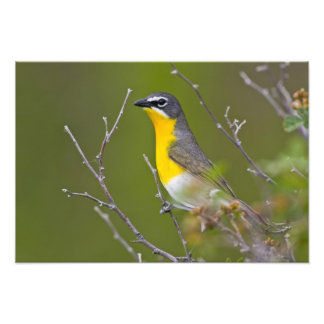 USA, Wyoming, Yellow-breasted Chat Icteria Photo Print
