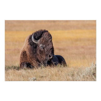 USA, Wyoming, Yellowstone National Park, Bison Poster