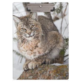 USA, Wyoming, Yellowstone National Park, Bobcat 1 Clipboard