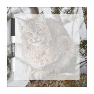 USA, Wyoming, Yellowstone National Park, Bobcat 1 Dry Erase Board