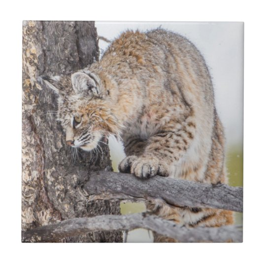 USA, Wyoming, Yellowstone National Park, Bobcat 2 Small Square Tile