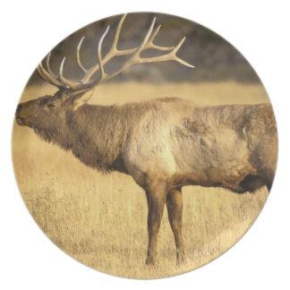 USA, Wyoming, Yellowstone National Park. Bull Dinner Plate