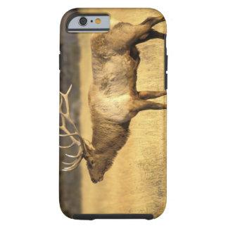 USA, Wyoming, Yellowstone National Park. Bull Tough iPhone 6 Case