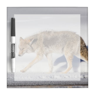 USA, Wyoming, Yellowstone National Park, Coyote 1 Dry Erase Board
