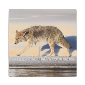 USA, Wyoming, Yellowstone National Park, Coyote 1 Wood Coaster