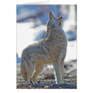 USA, Wyoming, Yellowstone National Park, Coyote 2 Card