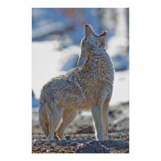 USA, Wyoming, Yellowstone National Park, Coyote 2 Poster