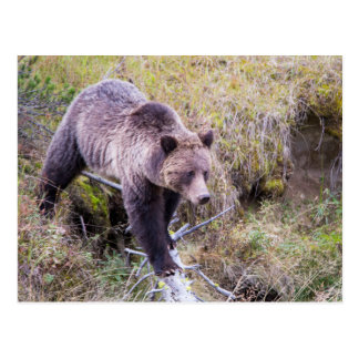 USA, Wyoming, Yellowstone National Park, Grizzly 1 Postcard