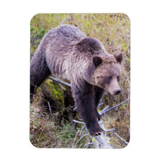 USA, Wyoming, Yellowstone National Park, Grizzly 1 Rectangular Photo Magnet