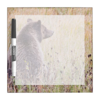 USA, Wyoming, Yellowstone National Park, Grizzly 2 Dry Erase Board