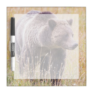 USA, Wyoming, Yellowstone National Park, Grizzly 3 Dry Erase Board