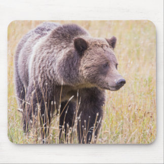 USA, Wyoming, Yellowstone National Park, Grizzly 3 Mouse Pad