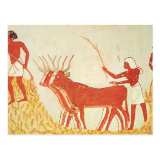 Using cows to trample wheat postcard