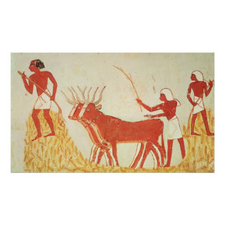 Using cows to trample wheat poster