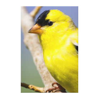 Utah. Male American Goldfinch Canvas Print