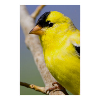 Utah. Male American Goldfinch Poster