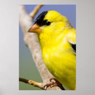 Utah. Male American Goldfinch Poster