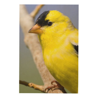 Utah. Male American Goldfinch Wood Canvases