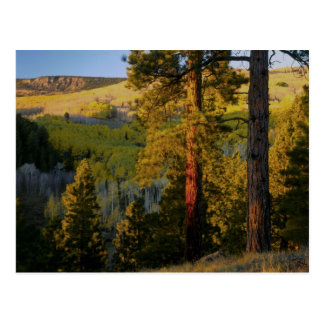 UTAH. Ponderosa pines & aspen, autumn. Sunrise, Postcard